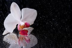 Witte orchidee met waterdalingen die op zwarte worden geïsoleerd. Bezinning Royalty-vrije Stock Afbeeldingen
