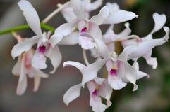 Witte orchidee ondiepe dof Royalty-vrije Stock Afbeeldingen