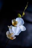 Witte orchidee op een zwarte achtergrond Royalty-vrije Stock Foto's