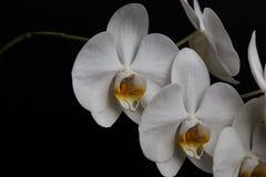 Witte orchidee op een zwarte achtergrond stock foto