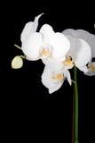 Witte orchidee op zwarte Royalty-vrije Stock Afbeelding