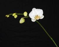 Witte orchidee op zwarte achtergrond. stock afbeelding