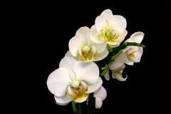 Witte Orchidee op zwarte achtergrond Royalty-vrije Stock Foto's