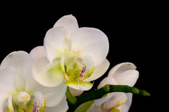 Witte Orchidee op zwarte achtergrond Stock Afbeeldingen