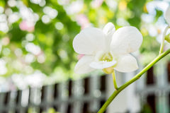 Witte Orchidee in tuin Royalty-vrije Stock Fotografie