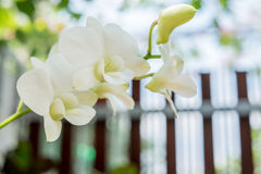 Witte Orchidee in tuin Royalty-vrije Stock Afbeelding
