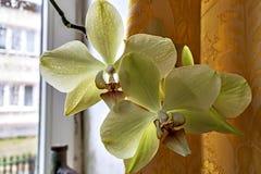 Witte orchidee twee op het venster stock afbeeldingen