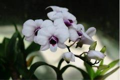 Witte Orchidee, wilde orchidee stock foto
