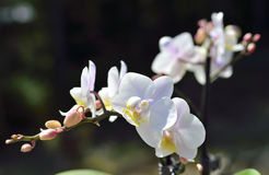 Witte orchidee zonnige summerday Stock Foto