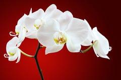 Witte orchideebloem Royalty-vrije Stock Afbeelding