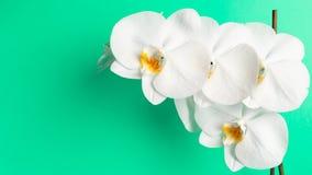 Witte orchideebloem op een Muntachtergrond royalty-vrije stock afbeeldingen