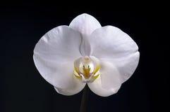 Witte orchideebloem op zwarte achtergrond stock fotografie