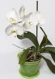 Witte orchideebloemen Stock Foto's