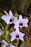 Witte orchideebloemen Stock Afbeelding