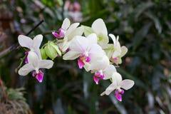 Witte Orchideebloemen op Bladerenachtergrond Royalty-vrije Stock Foto's