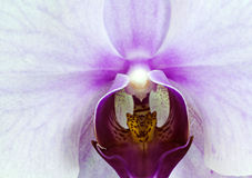 Witte orchideemacro Stock Foto