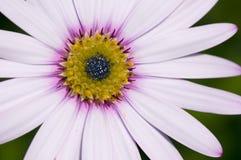 Witte osteospermum royalty-vrije stock foto