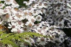 Witte osteospermum Bloeiende Afrikaanse Madeliefjes van de zonnebloemfamilie Asteraceae stock afbeeldingen