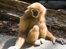 Witte Overhandigde Gibbon Royalty-vrije Stock Fotografie