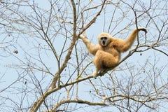 Witte overhandigde gibbon Stock Afbeeldingen