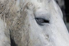 Witte Paard Dichte Omhooggaand Royalty-vrije Stock Fotografie