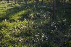Witte paardebloem op grond stock foto's