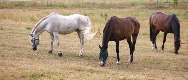 Witte paarden Royalty-vrije Stock Foto