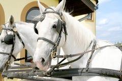 Witte paarden Stock Foto