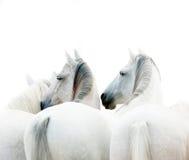 Witte paarden Royalty-vrije Stock Foto's