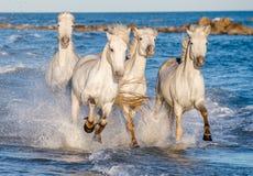 Witte paarden die op water Ñ galopperen 'Ð ½ е Stock Fotografie