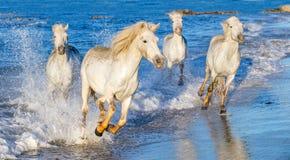Witte paarden die op water Ñ galopperen 'Ð ½ е Royalty-vrije Stock Afbeeldingen