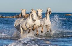 Witte paarden die op water Ñ galopperen 'Ð ½ е Stock Afbeelding