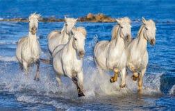 Witte paarden die op water Ñ galopperen 'Ð ½ е Stock Foto's