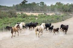 Witte paarden en van stierenvechten zwarte stieren looppas r stock afbeeldingen