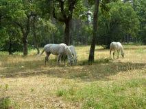 Witte paarden in Lipica - Slovenien Royalty-vrije Stock Foto's