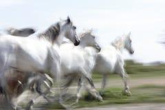 Witte paarden van Camargue stock foto's