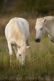 Witte paarden van Camargue, de Provence, Frankrijk Stock Fotografie