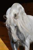 Witte paardhengst in de stal Royalty-vrije Stock Fotografie