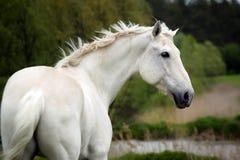 Witte paardsporten op het groene gebied stock fotografie