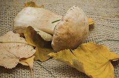Witte paddestoel met gele droge bladeren Stock Foto's