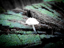 Witte paddestoelen Stock Foto's