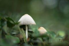 Witte paddestoelen in een bos royalty-vrije stock afbeelding