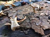 Witte paddestoelen op een boomstomp Stock Afbeelding