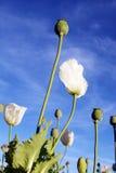 Witte papaver Royalty-vrije Stock Afbeeldingen