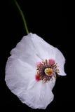 Witte papaver royalty-vrije stock afbeelding