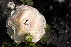 Witte papaver met roze royalty-vrije stock foto's