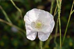 Witte papaverbloem in bloei Royalty-vrije Stock Foto's