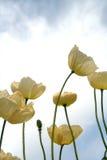 Witte papavers Royalty-vrije Stock Afbeeldingen