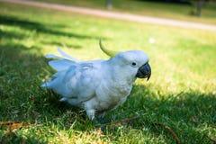 Witte Papegaai Stock Afbeeldingen