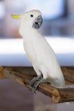Witte Papegaai royalty-vrije stock foto's